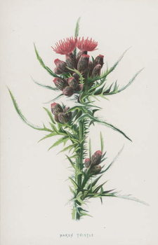 Marsh Thistle Reproducere
