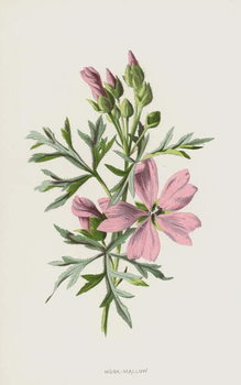Musk-Mallow Reproducere