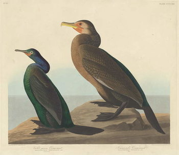Violet-green Cormorant and Townsend's Cormorant, 1838 Reproducere