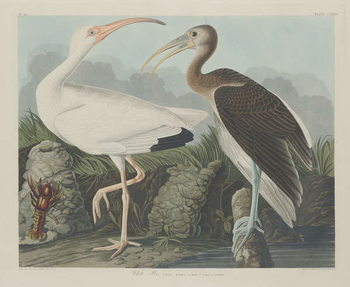 White Ibis, 1834 Reproducere