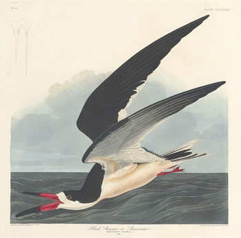 Black Skimmer, 1836 Reproducere