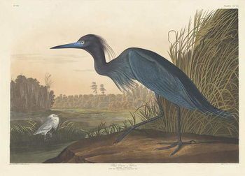 Blue Crane or Heron, 1836 Reproducere