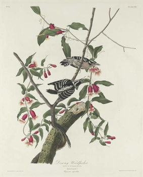 Downy Woodpecker, 1831 Reproducere