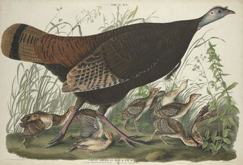 Great American Hen and Young, 1827 Reproducere