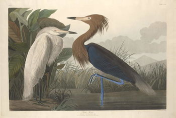 Purple Heron, 1835 Reproducere