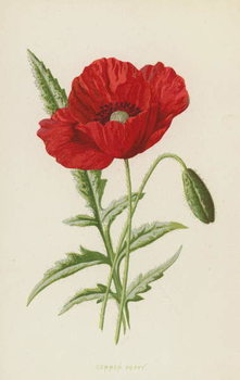 Common Poppy Reprodukcija