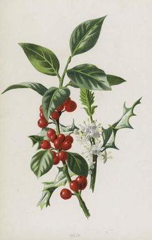 Holly Reprodukcija