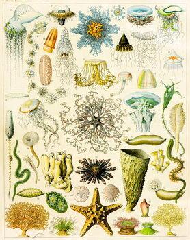 Illustration of Marine organisms c.1923 Reprodukcija