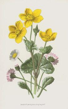 Marsh Marigold and Daisy Reprodukcija