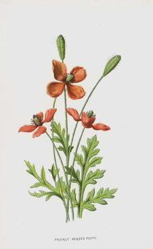 Prickly Headed Poppy Reprodukcija
