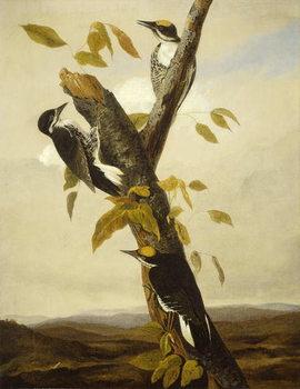Black-Backed Three-Toed Woodpecker, 1831-3 Reprodukcija