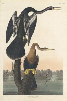 Black-bellied Darter, 1836 Reprodukcija
