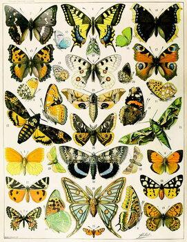 Illustration of  Butterflies and Moths c.1923 Reprodukcija