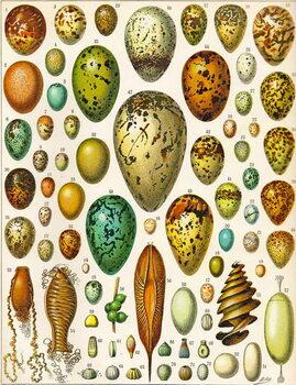 Illustration of Eggs c.1923 Reprodukcija