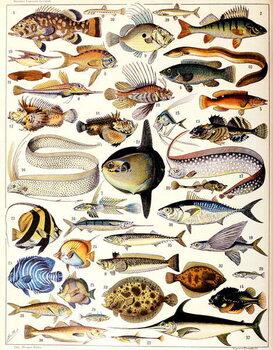 Illustration of Marine Fish c.1923 Reprodukcija