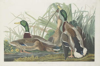 Mallard Duck, 1834 Reprodukcija