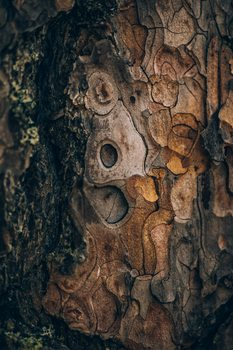 Ekskluzivna fotografska umetnost Pine wood