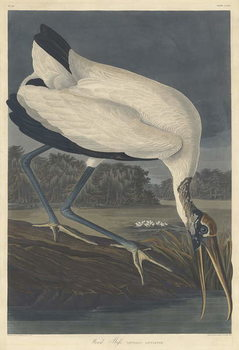 Wood Ibis, 1834 Reprodukcija