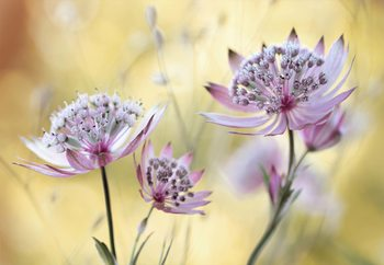 Fotomural  Astrantia Major