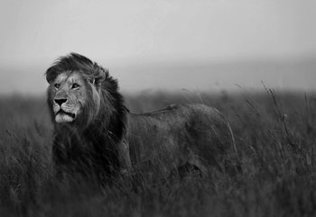 Fotomural Black And White Lion