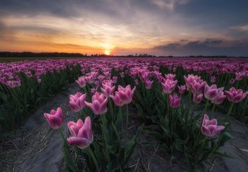 Fotomural  Field Of Tulips