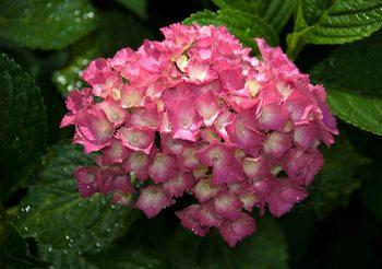 Fotomurale  Flores de Hydrangea Rosa