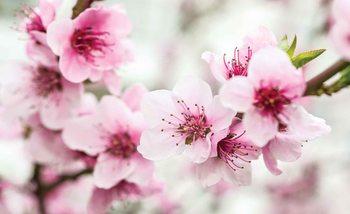 Fotomural Flores de la flor de cerezo