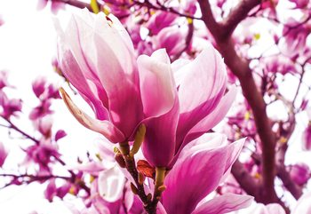 Fotomural Magnolia Tree