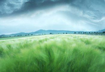 Barley Field Fototapet