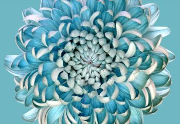 Blue Chrysanth Fototapet