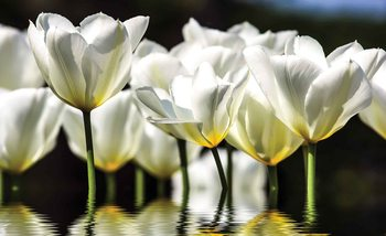 Flowers Tulips Fototapet