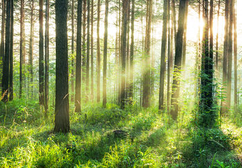 Forest – Sunbeams Fototapet