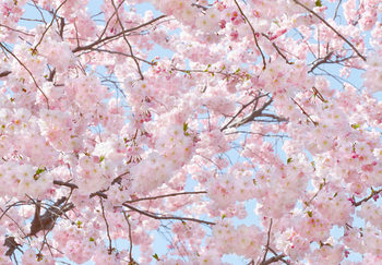 Pink Blossoms Fototapet