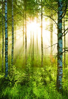Skog - Sunmbeams Fototapet