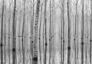 Birch Forest Tapéta, Fotótapéta
