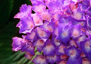Flowers Hydrangea Purple Fali tapéta