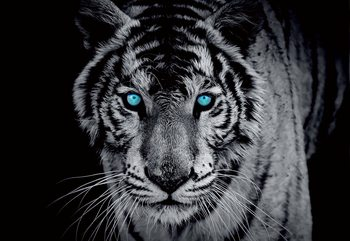 Black And White Tiger Blue Eyes Fototapeta