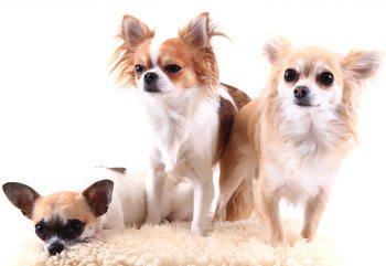 Dogs Fototapeta