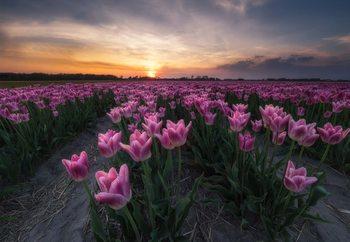 Field Of Tulips Fototapeta