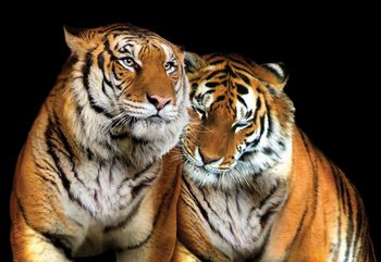 Loving Tigers Fototapeta