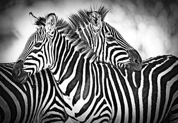 Zebras Black And White Fototapeta
