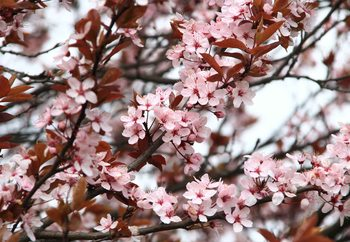 Beautiful Blossoms Fototapete