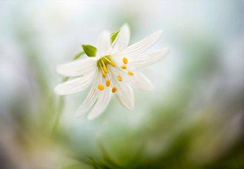 Spring Stitchwort Fototapete