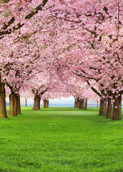 CHERRY TREES Fototapet