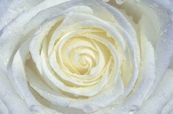 Rose Flower White Fototapet
