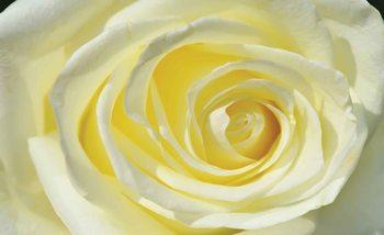 Biało-różowa róża Fototapeta