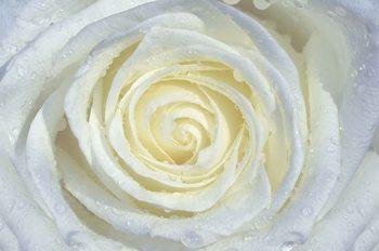 Biały kwiat róży Fototapeta