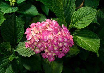 Fototapeta Kvety - Ružová hortenzia