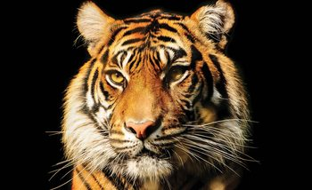 Tygrys Fototapeta