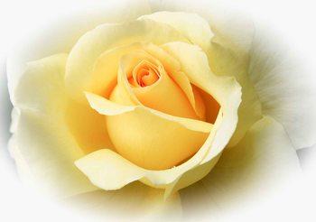 Żółta róża Fototapeta
